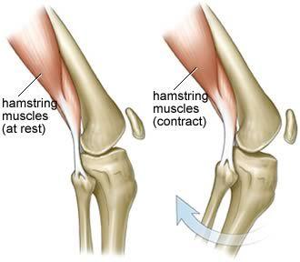 knee muscle anatomy diagram - hamstrings (Image credit: Seif ...