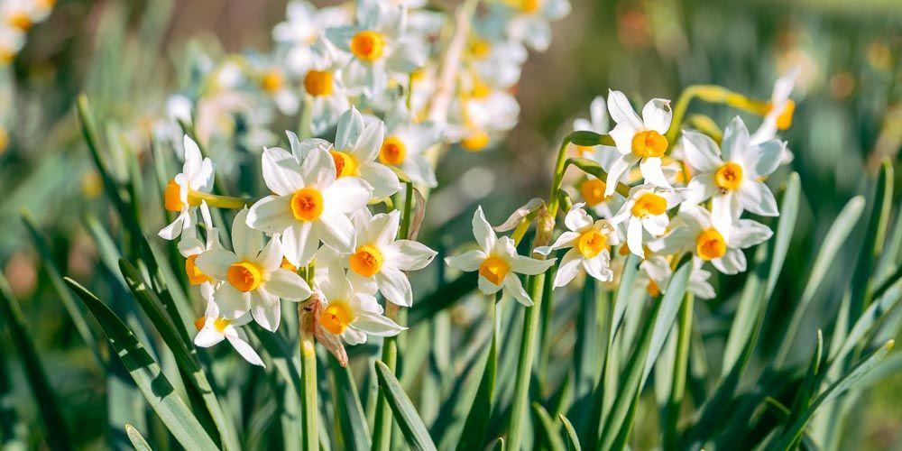 Νάρκισσος, ένα πανέμορφο λουλούδι για κήπο και γλάστρα   Plants ...