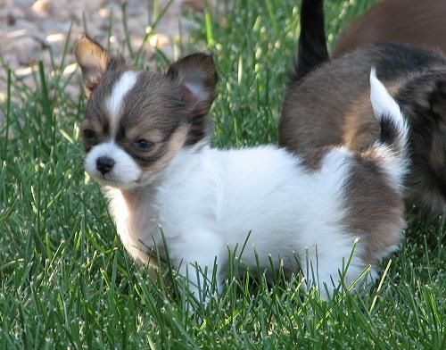 Puddles X Will Sable And White Longcoat Chihuahua Puppy
