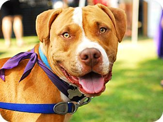 Detroit, MI - American Staffordshire Terrier/Boxer Mix. Meet Howie, a dog for adoption. http://www.adoptapet.com/pet/10452889-detroit-michigan-american-staffordshire-terrier-mix