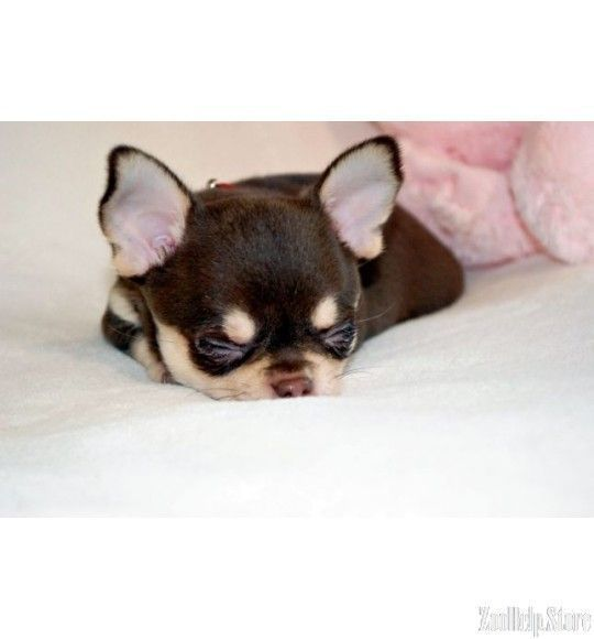 chihuahua puppies for sale in v #chihuahua puppies for sale