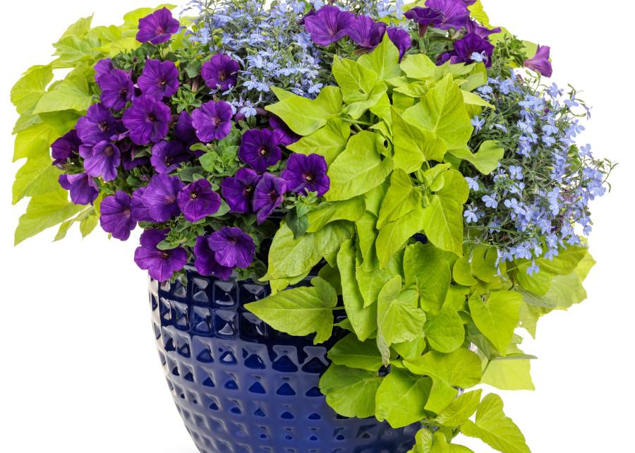 Chcesz Stworzyc Oryginalna Donice Z Petunia Oto Gotowe Zestawienie Roslin Zielony Container Gardening Container Gardening Vegetables Proven Winners Plants