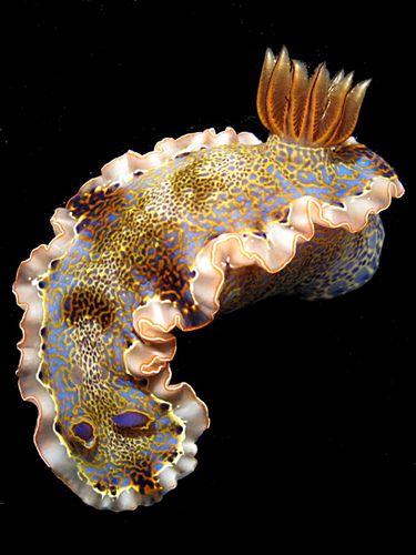 Caribbean sea slug