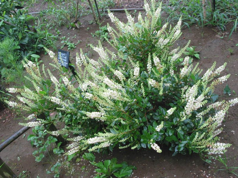 Clethra alnifolia 'Hummingbird', Compact Clethra, Summersweet .. Back yard, next to steps