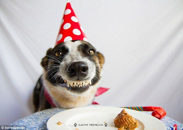 This Smiling Dog Looking Eager To Get Another Slice Of Birthday Cake In His Party Hat
