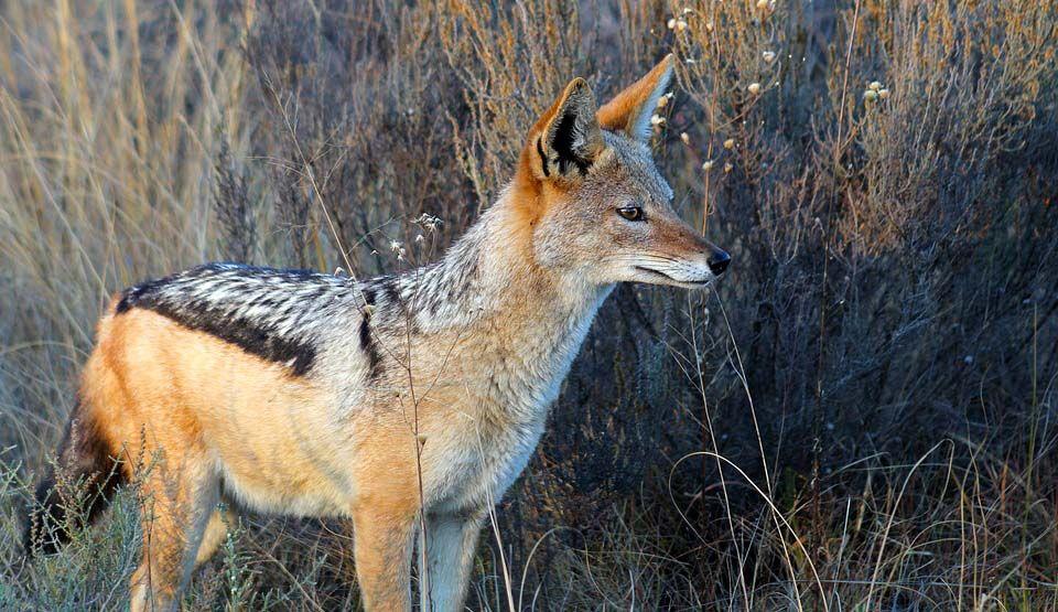 Jackal Is A Medium Sized Omnivorous Mammal That Belongs To The Same