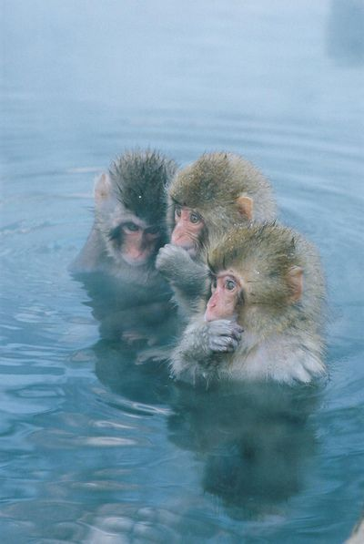 Snow monkeys in the onsen