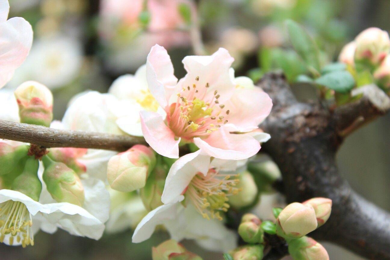 庭木のボケの花 東洋錦という品種のようです 庭 木 花 ボケ