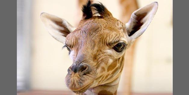 Utah S Hogle Zoo Via Facebook Http Aka Ms Babygiraffe Giraffe Photos Giraffe Baby Giraffe