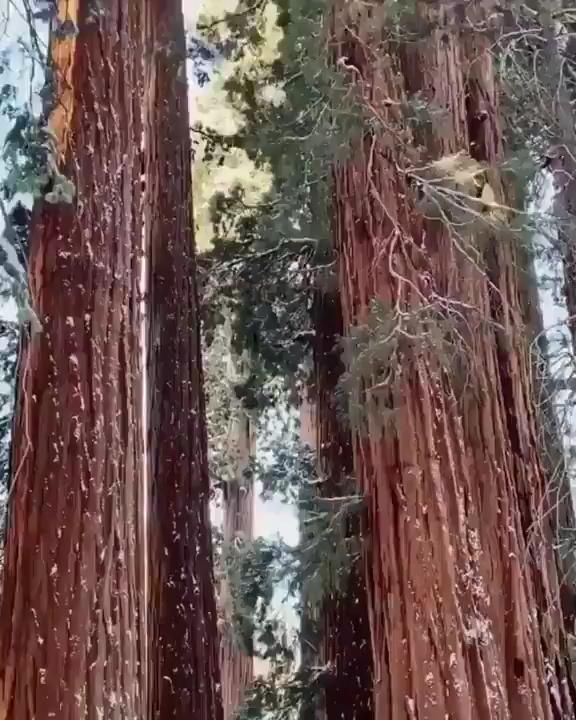 The world's tallest living tree