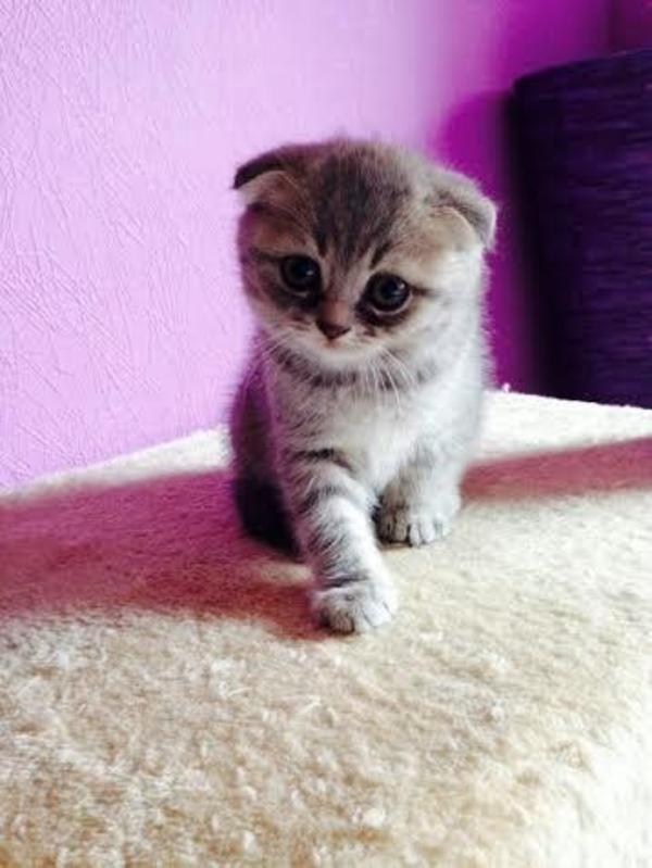 Katzen Super Susse Bkh Und Scottish Fold Babys Susse Tiere S