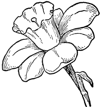 How to draw daffodils with daffodil drawing lessons for Simple flower drawing tutorial