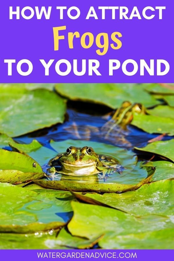 How To Attract Frogs To Your Pond in 2020 | Koi pond ...