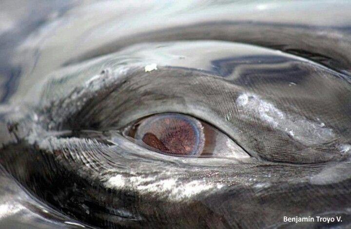 Whale eye   Animals   Pinterest   Eye, Marine life and Animal