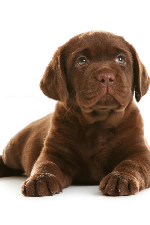 Chocolate Lab Puppies Labrador Retriever Puppies In 2020 Labrador Retriever Lab Puppies Labrador Retriever Puppies