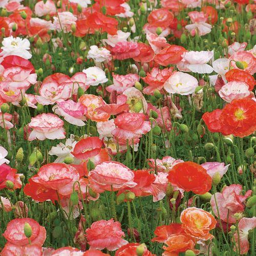 Garten Mohnblumen Pflanzen Tipps Fur Aussaat Und Pflege Pflanzen Mohnblume Mohnpflanze