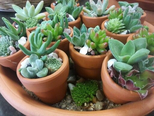 Cute Tiny Terracotta Pots With Baby Succulents Succulents Succulent Pots Miniature Terracotta Pots