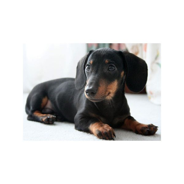Freddy The Dachshund Puppies Daily Puppy Liked On Polyvore Daschund Dog Dachshund Puppy Black Dachshund Puppy Funny
