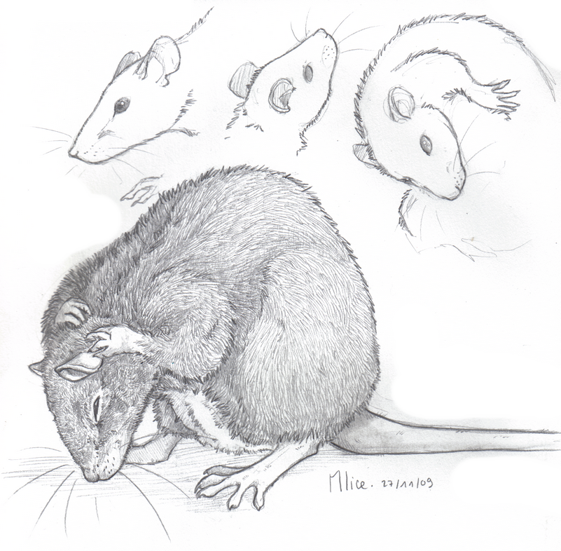 Rat by x-Mlice on DeviantArt | rats | Pinterest | Anatomía animal ...