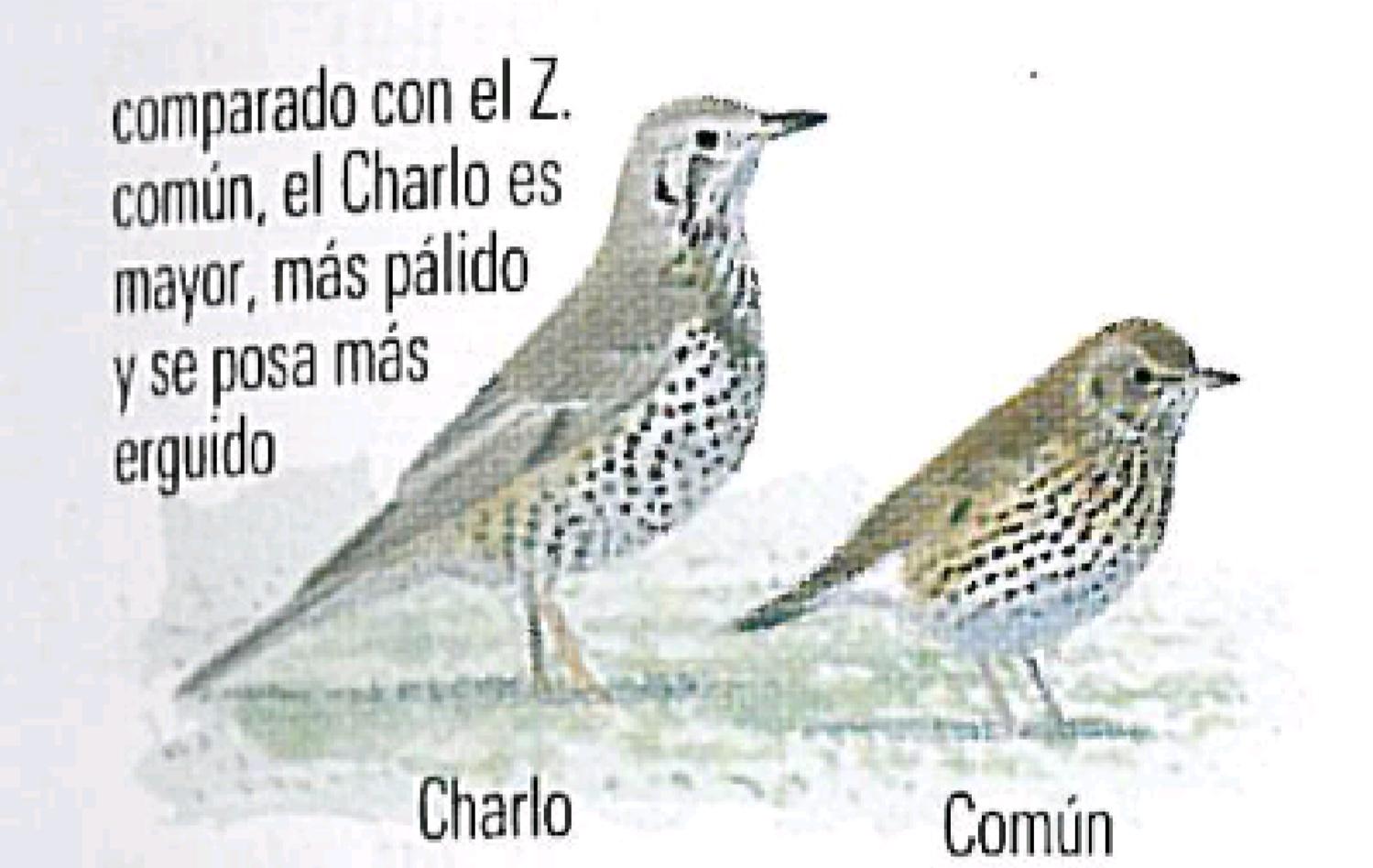 Como Diferenciar Zorzal Comun Y Zorzal Charlo Huellas De Animales