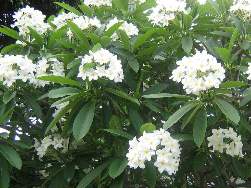 Plumeria Alba White Frangipani World Of Flowering Plants Plumeria Tree Plumeria Planting Flowers