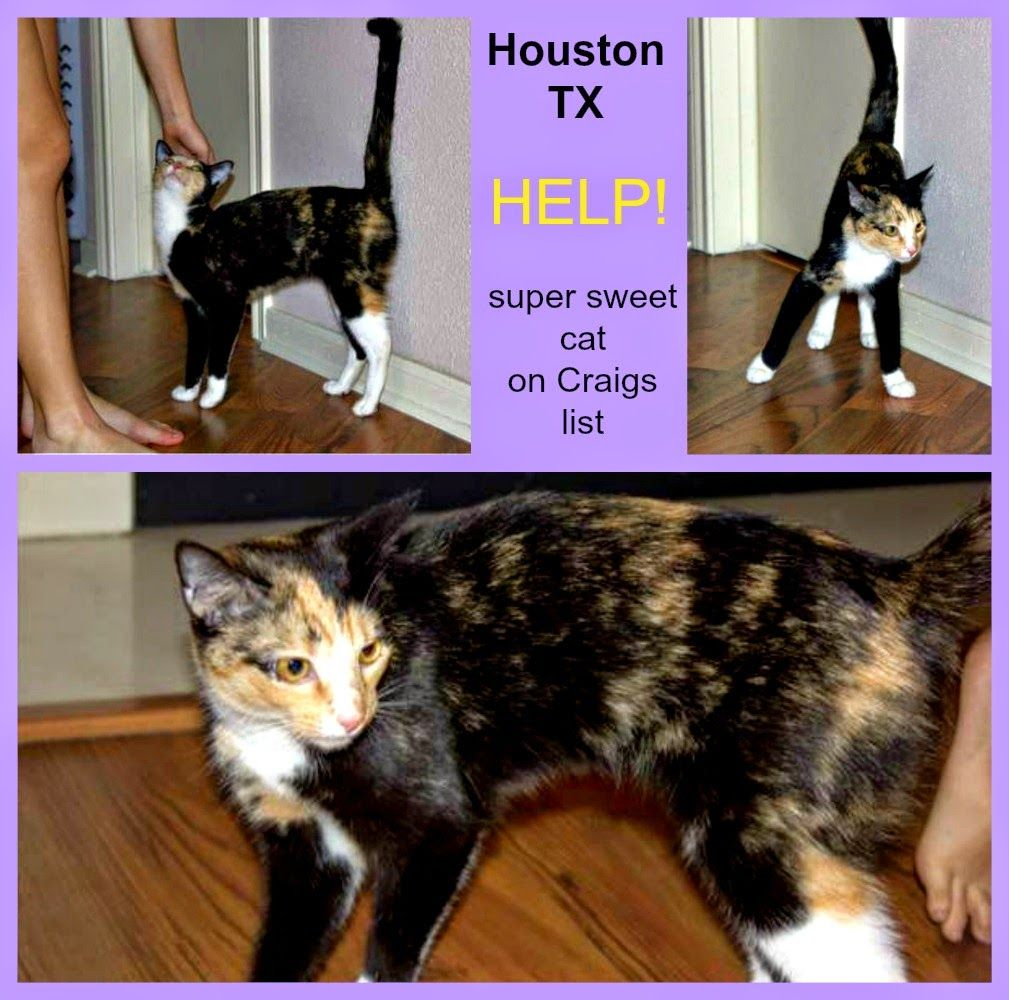 Houston Tx 11 5 Unspayed Kitty Still Needs Rescue Re Please Rush To Rescue Craigslist Ad Gorgeous Sweet Young Cat Cat Adoption Pet Adoption Cats And Kittens