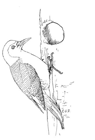 Red Bellied Woodpecker Coloring Page From Woodpeckers Category