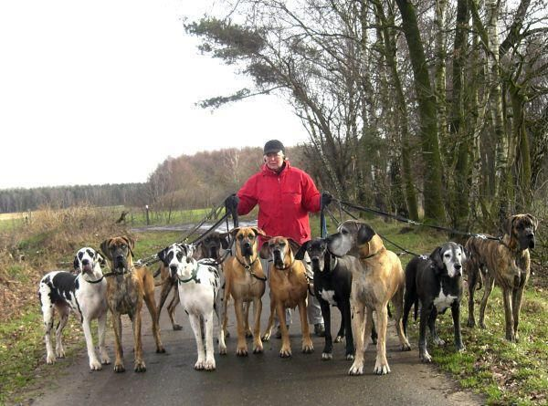 A gorgeous group of Great Danes