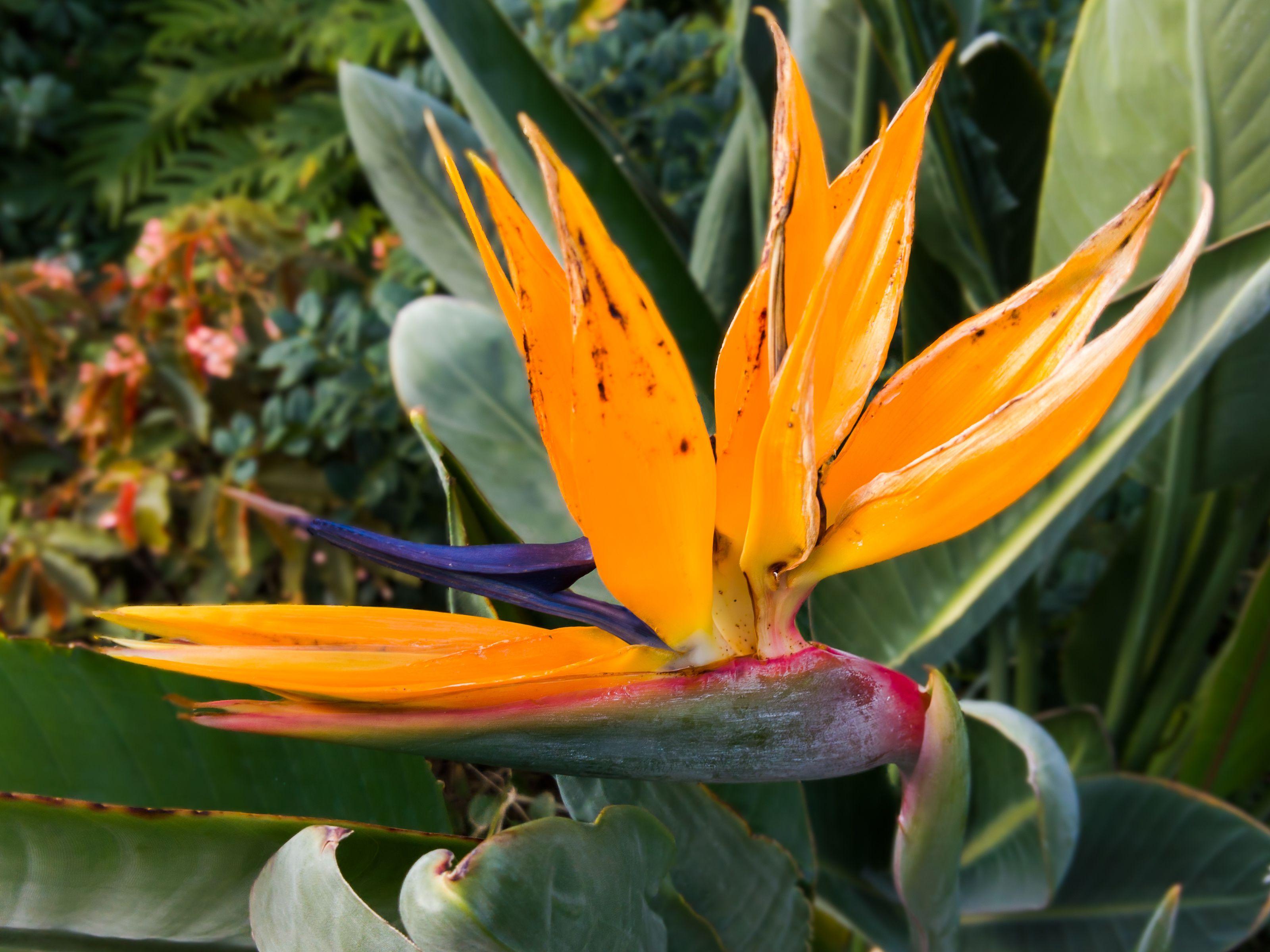 Bird Of Paradise By Pistos Caedes Desktop Wallpaper Birds Of
