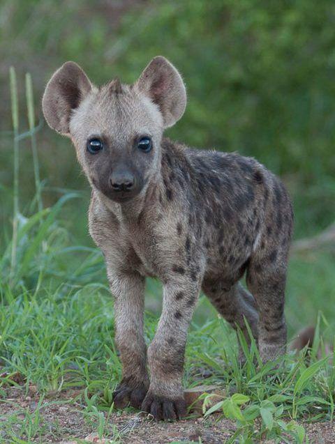 2 HyenaBarry TannerNov2013 Zvířata