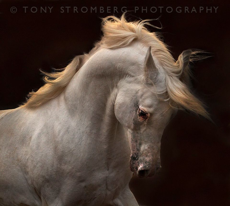 Perlino Colour Gorgeous Equine Photographer Tony Stromberg Beautiful Horses