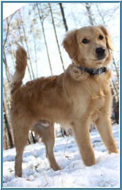 Flat Coated Mini Goldendoodle Suwanee