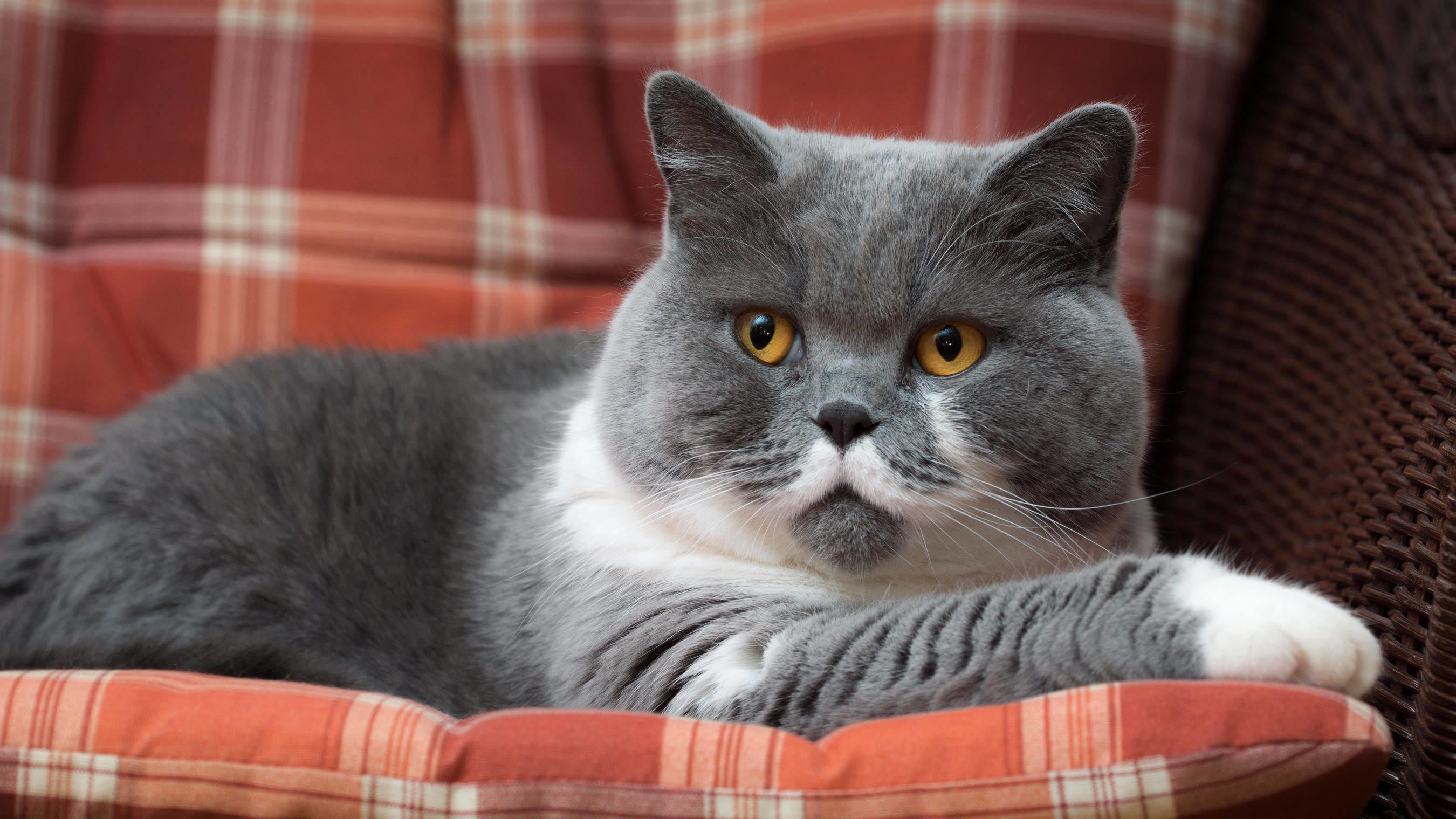british shorthair cats british shorthair british shorthair