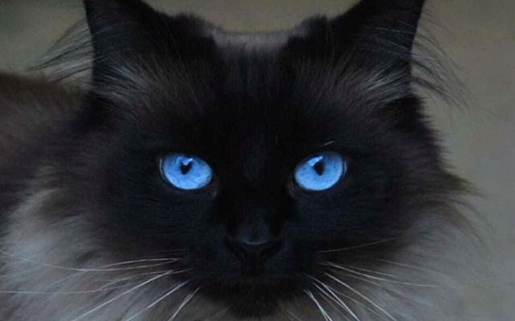 Gorgeous Cat With Piercing Deep Blue Eyes Jolis Chats Chats Et