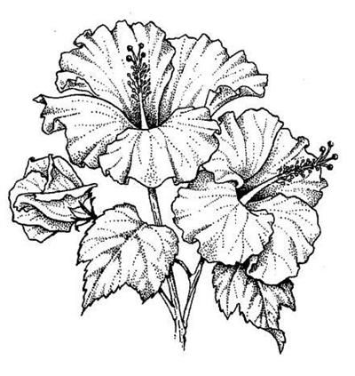 drawing of hibiscus - Google Search | Graphics | Pinterest ...