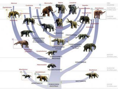Image result for evolutionary history of elephant