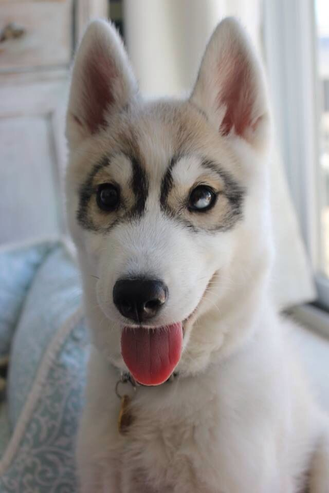 Husky Puppy With Unique Color Of The Coat Dogs I Love Dogs