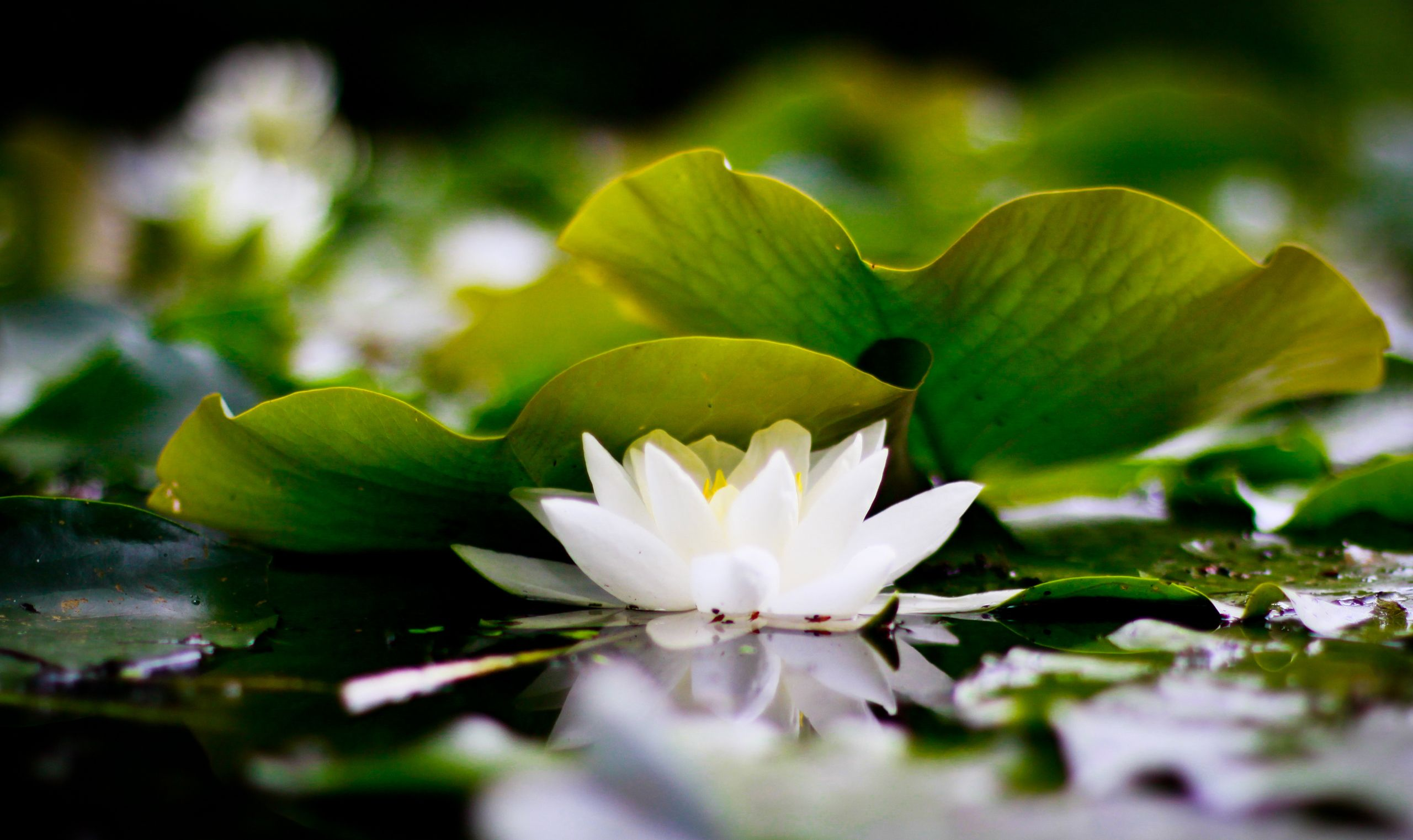 White Lotus Flower Wallpaper Free 027y 2560x1522 Px 218 Mb