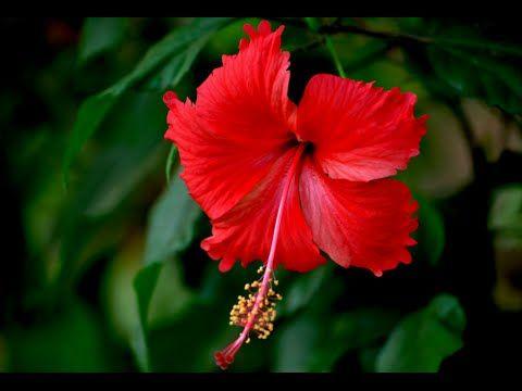 How To Re Pot Hibiscus Plant Hibiscus Roots Habiscus Flower Watering Hibiscus Urdu Hindi Hibiscus Plant Hibiscus Flowers Hibiscus Tree