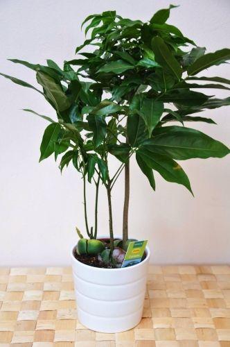 Zimmerpflanzen Sonniger Standort australische kastanie castanospermum australe sonniger standort