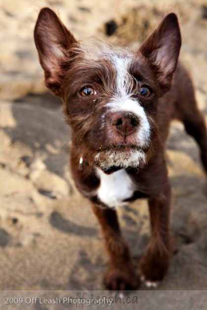 Norman Boston Terrier Poodle Mix Off Leash Dog Photography