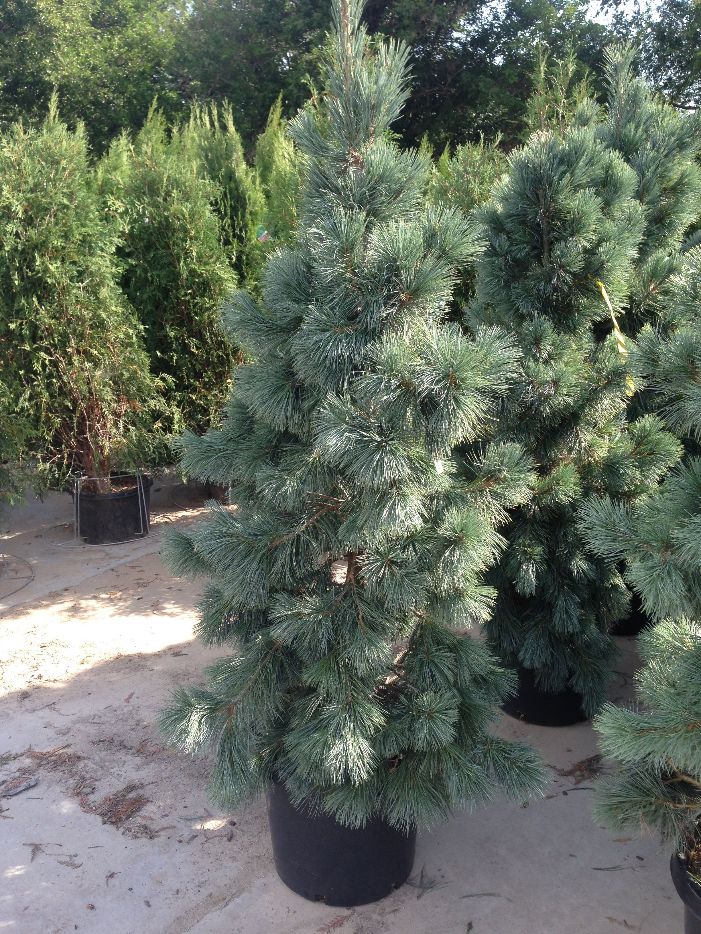 Cesarini Blue Limber Pine Grows Tall N Narrow Can Be Pruned To Desired Height Width