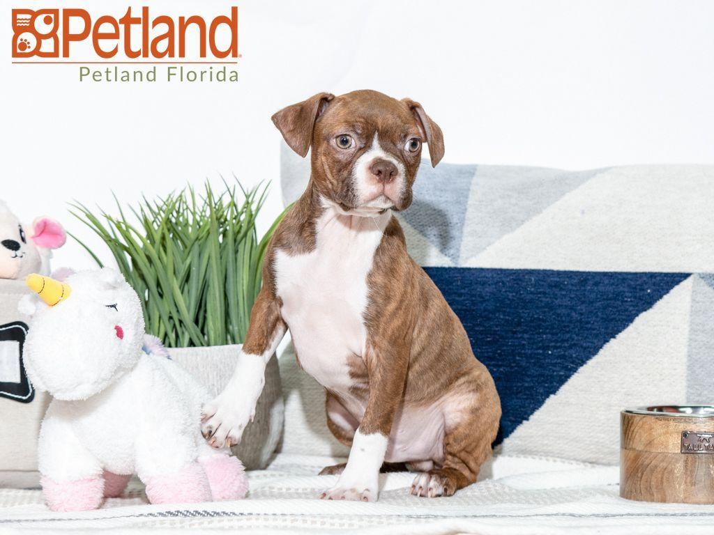 Puppies For Sale Puppy friends, Puppies, Boston terrier