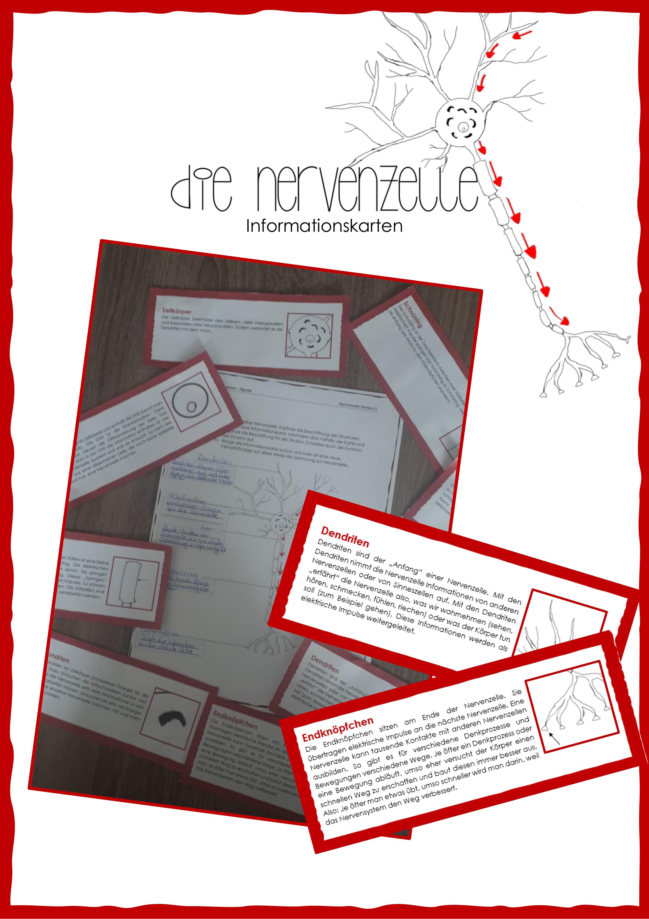 Nervenzelle Informationskarten Unterrichtsmaterial Im Fach Biologie Nervenzellen Unterrichtsmaterial Lehramt [ 3509 x 2480 Pixel ]