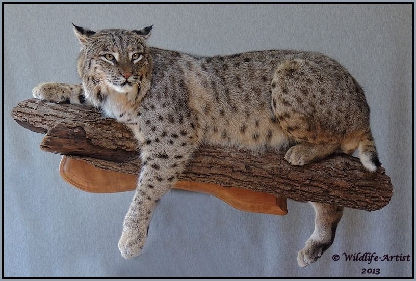 Bobcat Wall Mount Taxidermist Story For Hunting