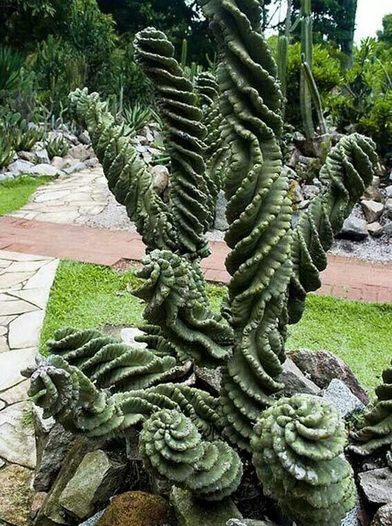 Cactus spirale piante grasse pinterest cacti plants for Pianta cactus