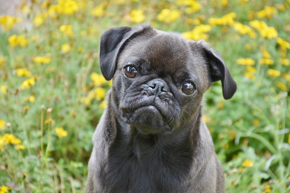 Pug Dog Price Buy Kci Registered Pug Puppies For Sale In India