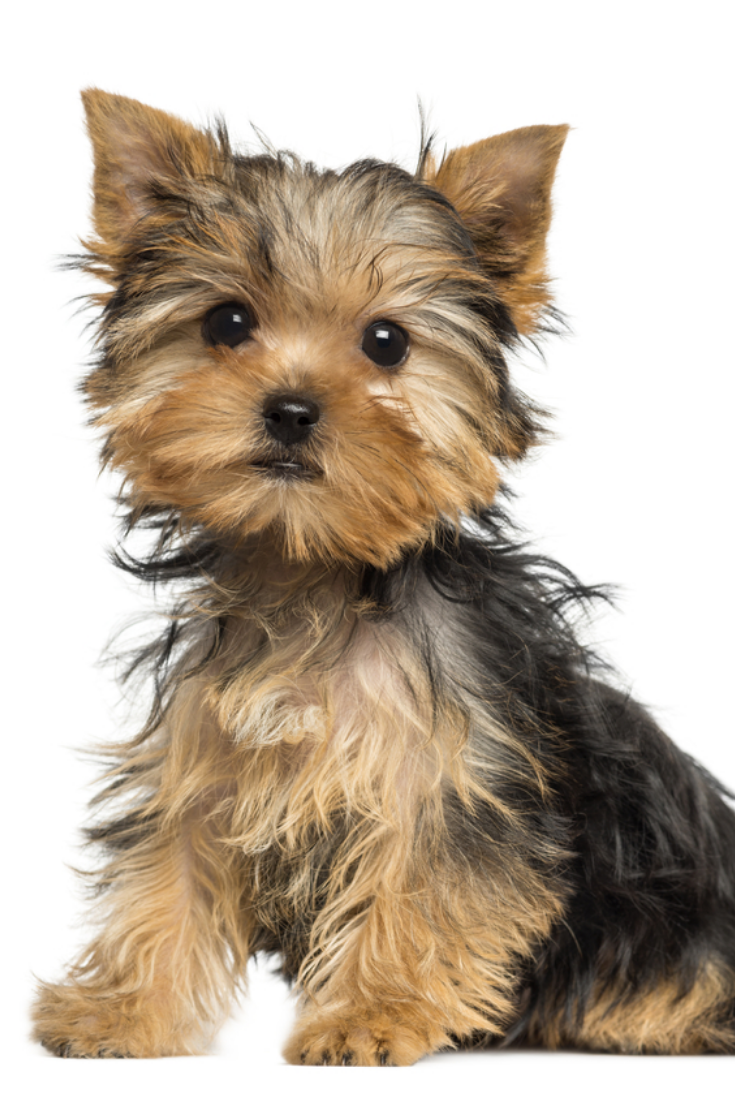 Side View Of A Yorkshire Terrier Puppy Sitting 3 Months Old