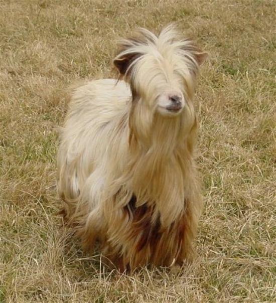 Miniature silky fainting goat - I love them!
