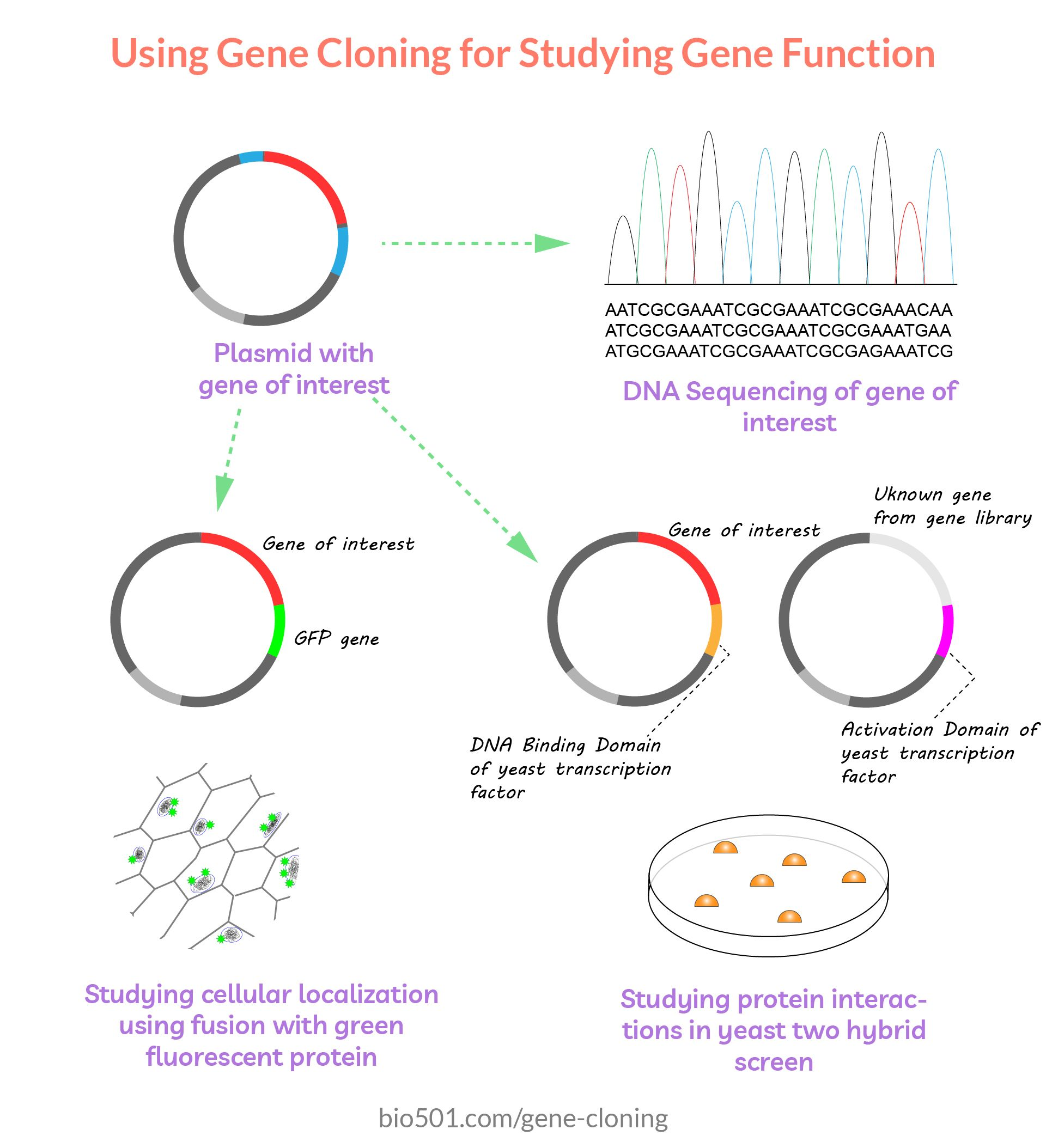 Gene Cloning Applications In 2020 Bacterial Transformation Genome Sequencing Genetic Information